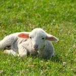 Little white lamb lying in pasture — Stock Photo #5780962