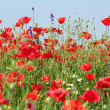 Poppy flowers meadow — Stock Photo #5781037