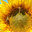 Two bees on sunflower — Stock Photo