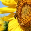 Bee on sunflower summer scene - Stock Photo