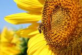 Bee on sunflower summer scene — Stock Photo