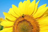 Bright yellow sunflower — Stock Photo