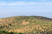 Hill with olives trees — Stock Photo