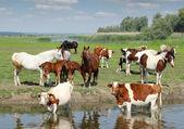 Farm animals on river — Stock Photo