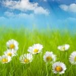 campo de daisy e céu azul em fundo — Foto Stock