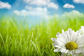 Nature background - flower on green field and blue sky — Stockfoto