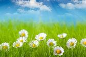 Campo del cielo daisy y azul sobre fondo — Foto de Stock