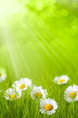 Spring field - daisy in grass — Stock Photo