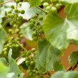 Grapes — Stock Photo #6571967