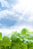 Fresh green leaves and beautiful blue sky — Stock Photo