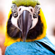 Scarlet Macaw on Perch. Hello Parrot. — Stock Photo