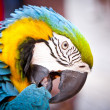 Stock Photo: Scarlet Macaw on Perch. Hello Parrot.