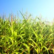 Field of healthly corn. - Stock Photo