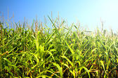 Field of healthly corn. — Stock Photo