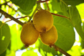 Baby Kiwi Fruit Tree. Kiwifruit. — Stock Photo
