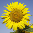 Bugaria Sunflowers — Stock Photo