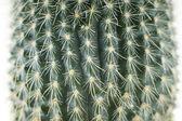 Cactus close-up of white background — Stock Photo