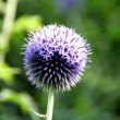 echinops globe thistle star frost flower — Stock Photo