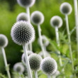Echinops Globe Thistle Star Frost flower — Stock Photo #6214743