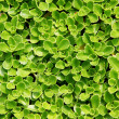 Succulent Carpet — Stock Photo