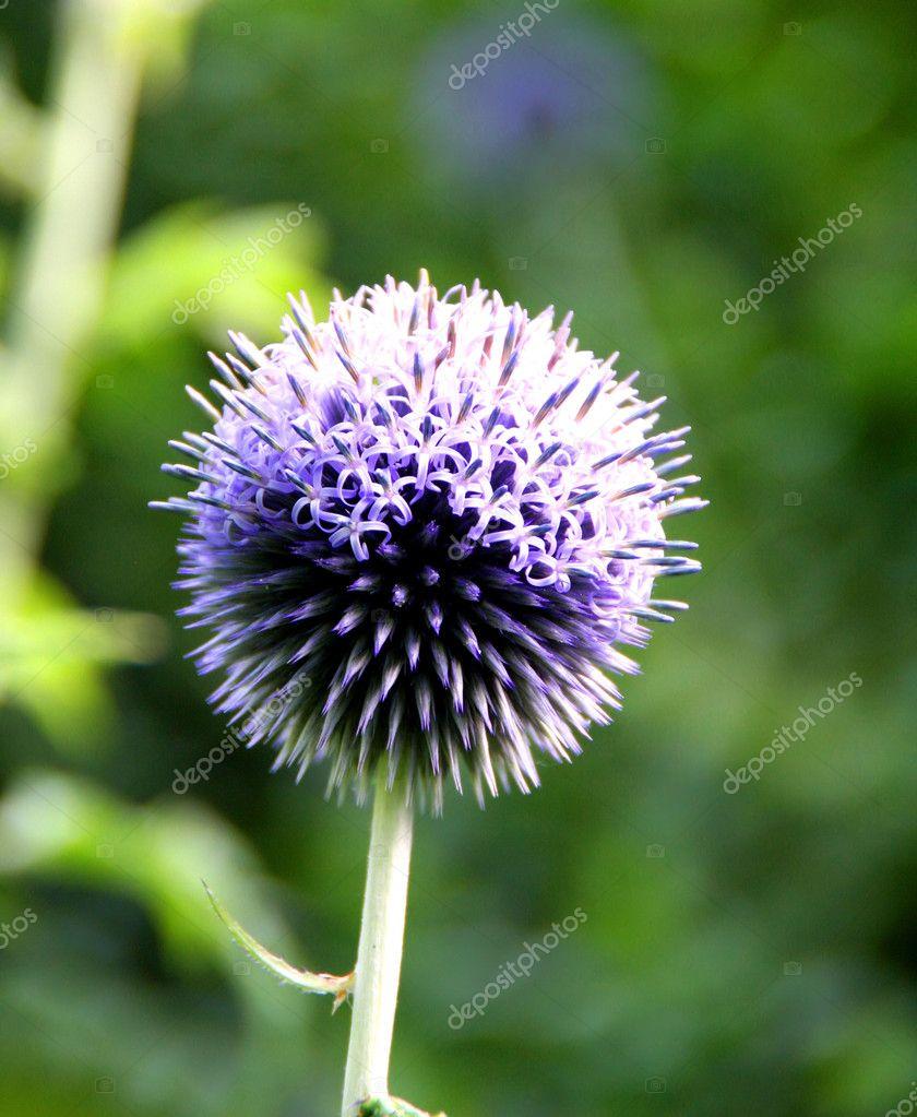 мордовник  цветок