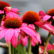 Pink Echinacea - Cone Flowers — Stock Photo