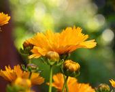 Calendula plant buds — Stock Photo