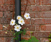 Beautiful flowers growing up a drainage pipe — Stock Photo