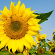 Big sunflower with flying bee — Stock Photo