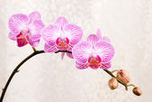 Pink orchid, blossoming phalaenopsis flower(phalaenopsis spp.) w — Stock Photo