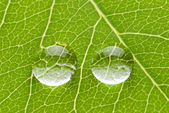 Two transparent drops on green leaf — Stock Photo