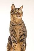 Gatto soriano si siede e guarda avanti — Foto Stock
