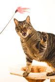 Tabby katt spelar toy — Stockfoto