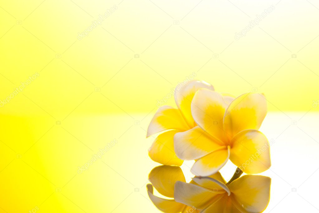 Two yellow Leelawadee flowers under warm sunshine  Stock Photo #6426841
