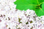 Lila stilleben på våren — Stockfoto