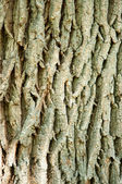 Oak tree's bark texrure in sunshine — Stockfoto