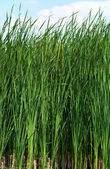 Sedge at lake in sunshine — Stock Photo