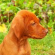 Eight weeks old puppy Hungarian vizsla in the garden — Stock Photo
