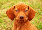 Eight weeks old puppy Hungarian vizsla portrait — Stock Photo