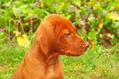 八个星期大的小狗匈牙利维在花园里 — 图库照片