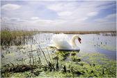Graceful swan swimming in the lake — Stock Photo