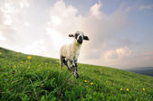 Small Lamb — Stock fotografie