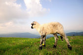 Small Lamb — Stockfoto