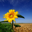 Flowering sunflower on a beautiful  background - Stock Photo