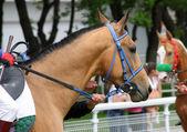 Akhal-teke horse. — Stock Photo
