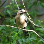 Jay bird. — Stock Photo