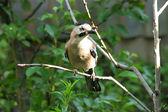 Jay bird. — Stockfoto
