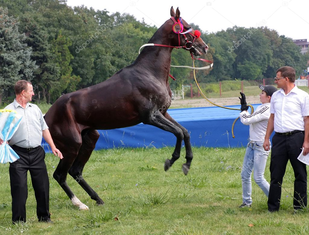 The akhal-teke horse, black stallion Patron after race for the prize of Melekusha. Caucasus. — Stock Photo #6685112