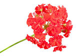 Red geranium — Stock Photo