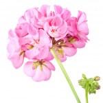 Rose geranium — Stock Photo